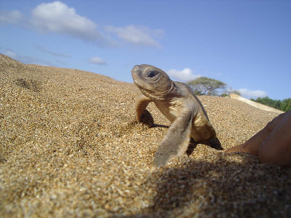 Baby Turtle in Itsamia beach